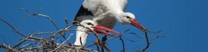 Pflege der Website - Störche bei Nestpflege